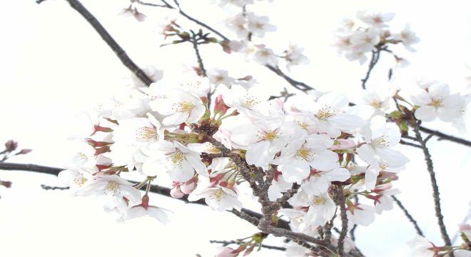 愛媛県の桜の名所