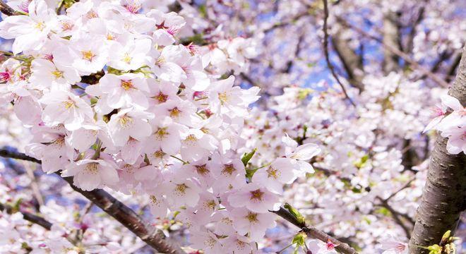 香川県の桜の名所