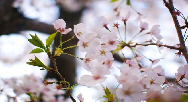 徳島県の桜の名所