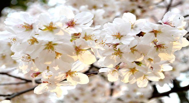 島根県の花見スポット
