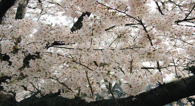 広島県の花見スポット