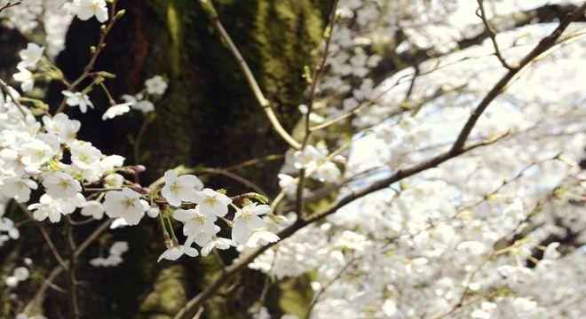 奈良県の桜の名所