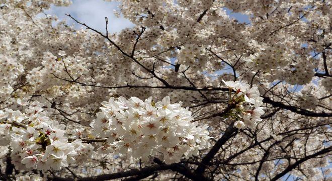 兵庫県の桜の名所