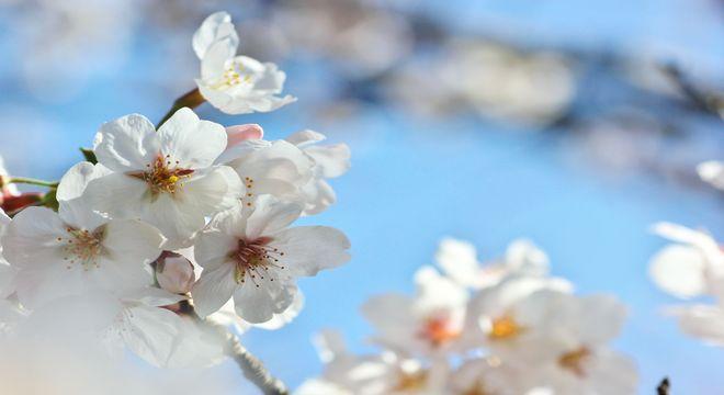 石川県の桜の名所