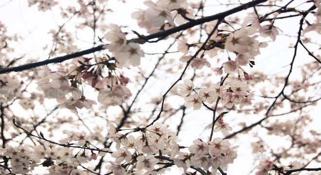 静岡県の花見スポット