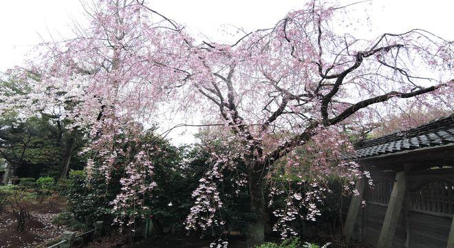 西新井大師の枝垂桜