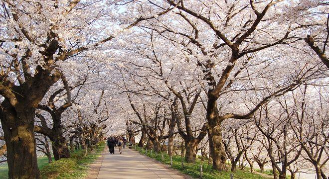 東京多摩地区の桜の名所