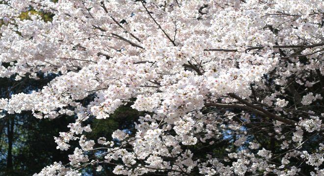 茨城県の桜の名所
