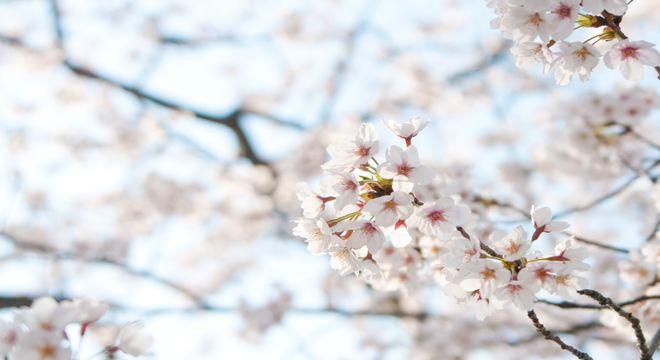 栃木県の桜の名所