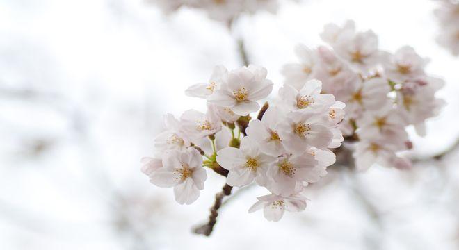 群馬県の桜の名所
