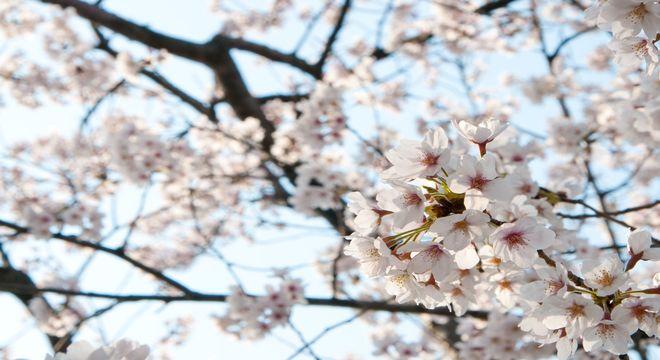 山梨県の花見スポット