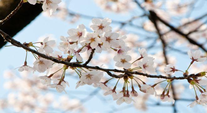 新潟県の花見スポット