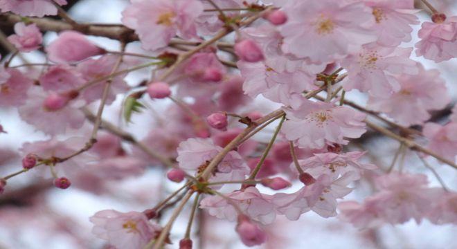 青森県の桜の名所