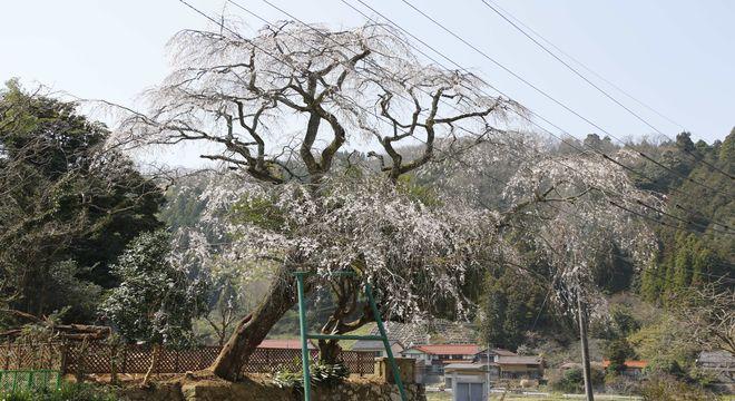 中国地方の桜名所