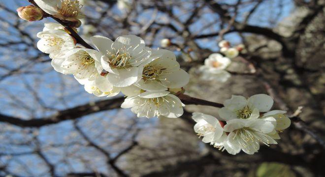 埼玉県の梅の名所