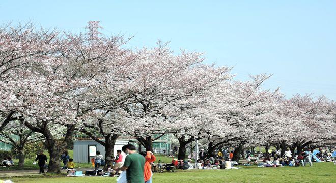 県民健康福祉村の桜