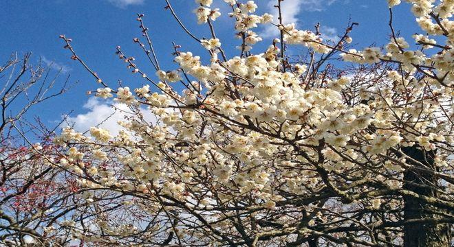 茨城県の梅の名所