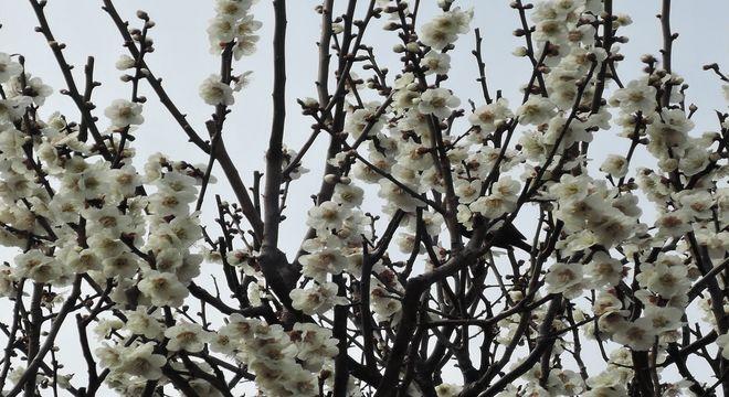 神奈川県の梅の名所