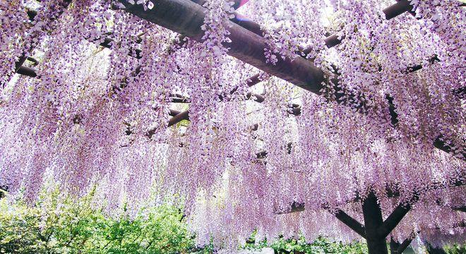 神奈川県の藤の名所