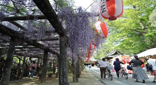 久伊豆神社の藤まつり(埼玉県越谷市)