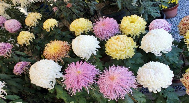 菊の展示会