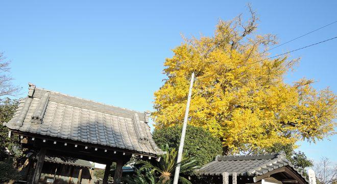 聖徳寺のイチョウ|越谷市北川崎