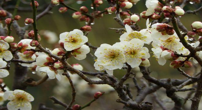 岡山県の梅の名所