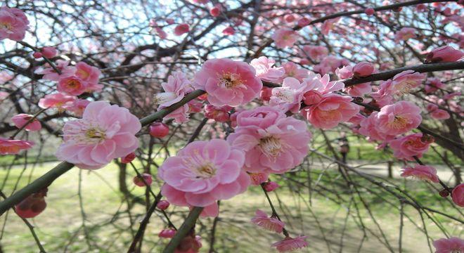 千葉県の梅の名所
