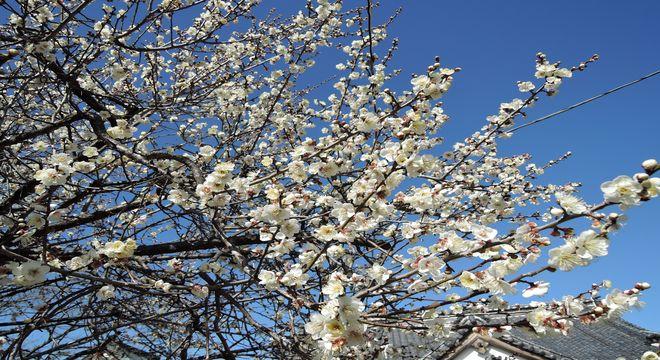 岩手県の梅の名所