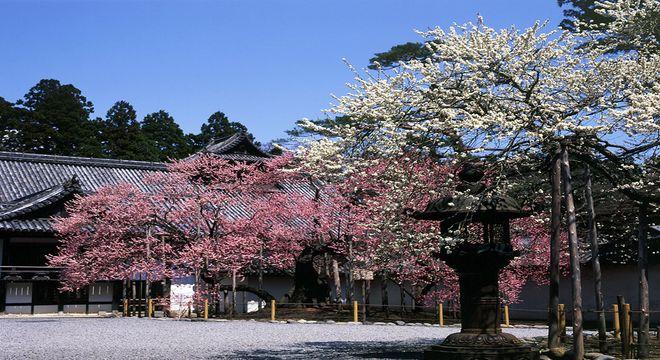 瑞巌寺の臥龍梅