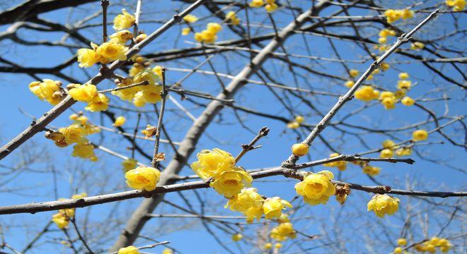 石井実生園(埼玉県さいたま市)の蝋梅