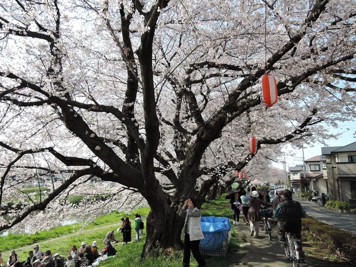 越谷市の桜の名所