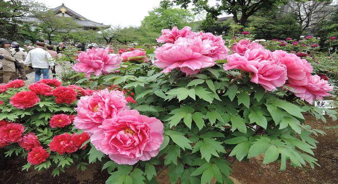 西新井大師の牡丹園