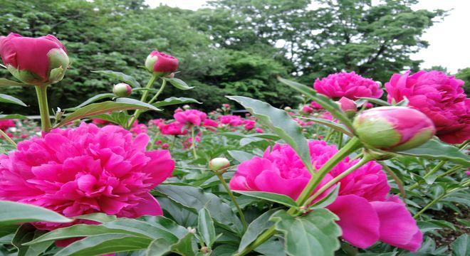 緑の森公園のシャクヤク(埼玉県越谷市)