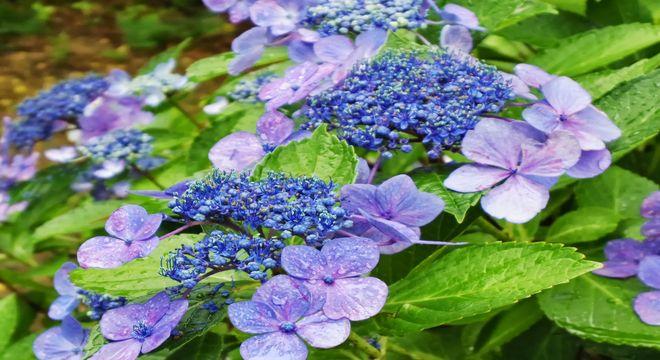 茨城県の紫陽花の名所