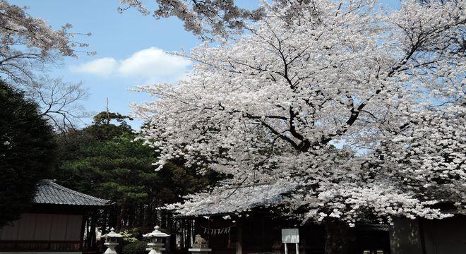 桜を使った俳句