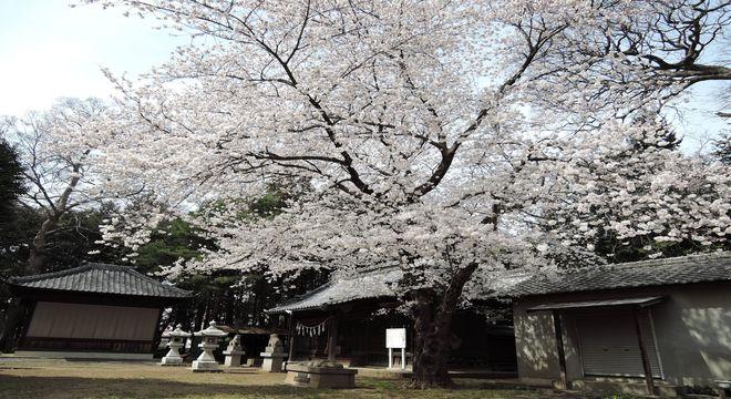 岩槻の花見穴場スポット(笹久保八幡神社)