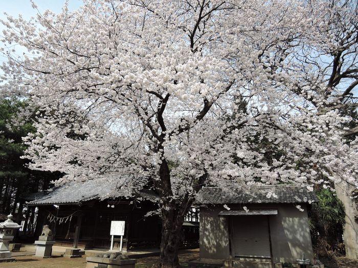 岩槻の花見穴場スポット|笹久保八幡神社