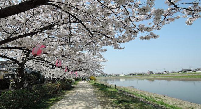 古利根川の桜