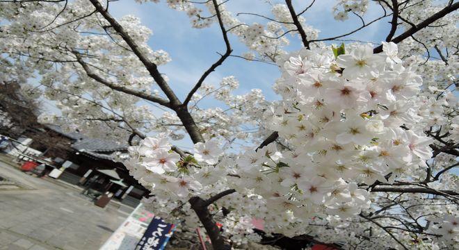 花といえば俳句では桜