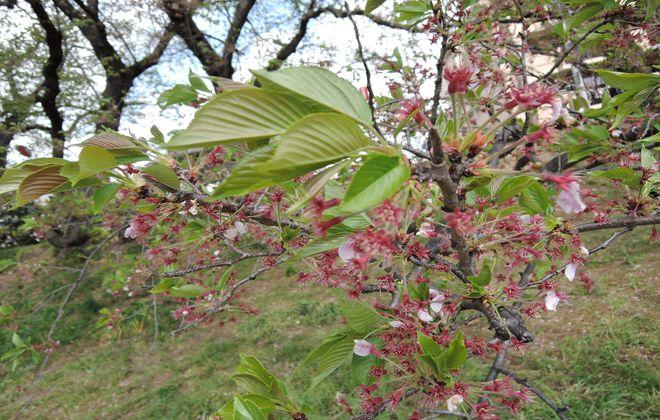桜蘂(さくらしべ)